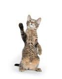 Cute tabby kitten on hind legs Stock Photography