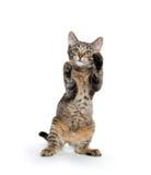 Cute tabby kitten on hind legs Royalty Free Stock Photos