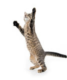 Cute tabby kitten on hind legs Royalty Free Stock Images