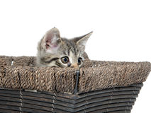 Cute tabby kitten inside of basket Royalty Free Stock Photography