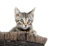 Cute tabby kitten inside of basket Royalty Free Stock Images
