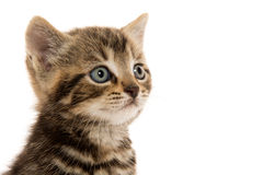 Cute tabby kitten ion white Stock Image