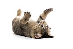Cute tabby kitten on its back Royalty Free Stock Image