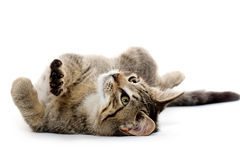 Cute tabby kitten on its back Stock Photos