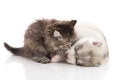 Cute tabby kitten kissing cute puppy  on white background Royalty Free Stock Photos