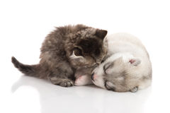 Cute tabby kitten kissing cute puppy  on white background Royalty Free Stock Photography