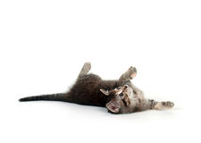 Cute tabby kitten laying down and playing Royalty Free Stock Photo