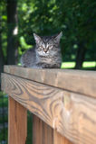 Cute tabby kitten laying on wooden railing Royalty Free Stock Photography