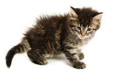 A cute tabby kitten licking her nose on a white background. Royalty Free Stock Image