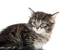 Cute tabby kitten looking up on white Stock Photo