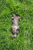 Cute tabby kitten lying Stock Image
