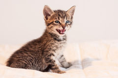 Cute tabby kitten meowing on soft off-white comforter. Cute little tabby kitten sitting on a soft, off-white comforter.  Kitty has green eyes and soft fur.  The Royalty Free Stock Photography
