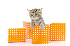Cute tabby kitten in orange polka dot box on white background Stock Photography