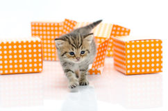 Cute tabby kitten in orange polka dot box on white background Royalty Free Stock Photography