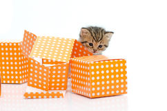 Cute tabby kitten in orange polka dot box on white background Royalty Free Stock Photos