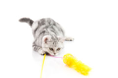 Cute tabby kitten playing toy Royalty Free Stock Image