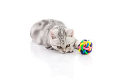 Cute tabby kitten playing toy Stock Image