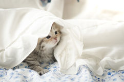 Cute tabby kitten playing under blanket Royalty Free Stock Photo