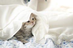 Cute tabby kitten playing under blanket. Cute tabby kitten playing under white blanket Royalty Free Stock Photo