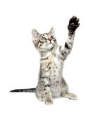 Cute tabby kitten playing on white Stock Photography