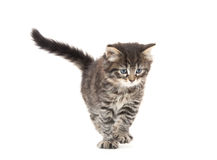 Cute tabby kitten playing on white Stock Photos