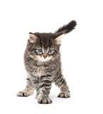 Cute tabby kitten playing on white Stock Photo