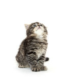 Cute tabby kitten playing on white Royalty Free Stock Photos