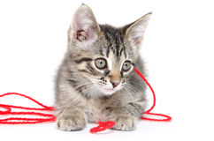 Cute tabby kitten playing with yarn Stock Photography