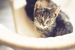 Cute tabby kitten sitting on a chair Royalty Free Stock Image