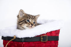 Cute tabby kitten in sled Royalty Free Stock Images