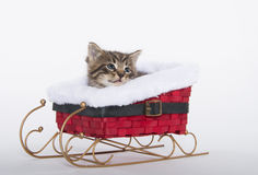 Cute tabby kitten in sled Stock Images