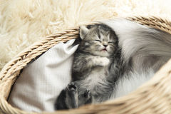 Cute tabby kitten sleeping Stock Images