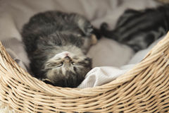 Cute tabby kitten sleeping Royalty Free Stock Images