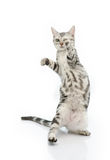 Cute tabby kitten standing on hind legs Royalty Free Stock Photography