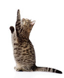 Cute tabby kitten standing on hind legs and leaping. isolated Royalty Free Stock Image