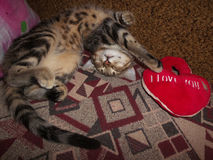 Cute tabby kitten with teddy red heart. Bengal kitten sleeping with teddy red heart Stock Photography