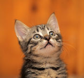 Cute tabby kitten Royalty Free Stock Image