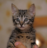 Cute tabby kitten Stock Image