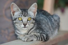 Cute Tabby Kitten royalty free stock images