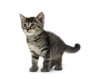 Cute tabby kitten on white Stock Image