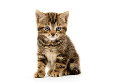 Cute tabby kitten on white Royalty Free Stock Photography