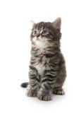Cute tabby kitten on white Stock Photography