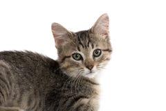 Cute tabby kitten on white Royalty Free Stock Photo