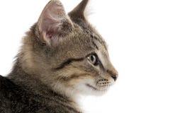 Cute tabby kitten on white Stock Images