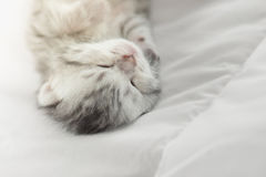 Cute tabby kittens lying. Cute tabby kitten sleeping on bed Stock Photos