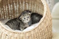 Cute tabby kittens sitting and looking Royalty Free Stock Photos