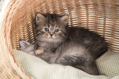 Cute tabby kittens sitting and looking Royalty Free Stock Photo