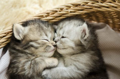 Cute tabby kittens sleeping and hugging. In a basket Royalty Free Stock Photography