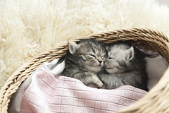 Cute tabby kittens sleeping and hugging. In a basket Stock Image