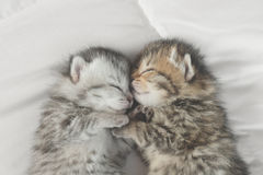 Cute tabby kittens sleeping and hugging. On white bed Royalty Free Stock Photo